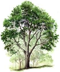 Full White Ash Tree